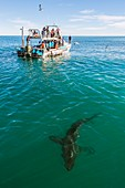 Great white shark and boat