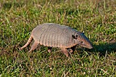 Six banded Armadillo in the Pantanal