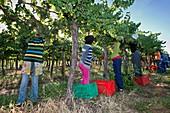 Seasonal workers harvesting grapes