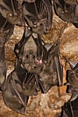 Egyptian Fruit Bat Rousettus aegyptiacus