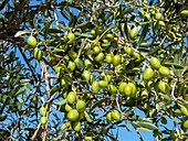 Green unripe olives ( Olea europea )