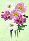 Japanese anemones (Anemone x hybrida)