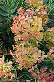 Euphorbia pontica