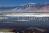 California gulls on Owens lake,USA