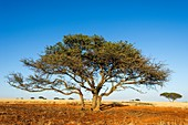 Camel thorn acacia tree in the Kalahari