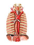 Arterial system of Oesophagus,artwork