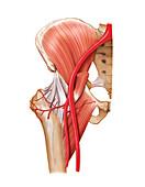 Arterial system of the hip,artwork