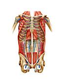 Venous system of the torso,artwork