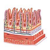 Small intestine,artwork