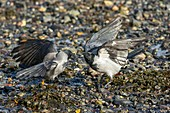 Hooded crows fighting