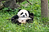 Juvenile Giant Panda Eating Bamboo