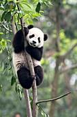 Juvenile Panda climbing a tree