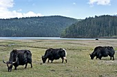 A herd of Yaks in Potatso National Park