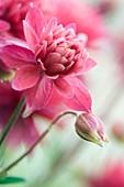 Columbine 'Clementine Rose'
