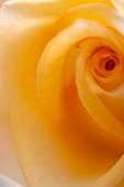 Close up of single rose (Rosa hybrid)