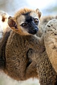 Infant red-fronted brown lemur