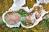 Panther chameleon shedding skin