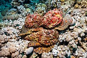 Stonefish mating congregation
