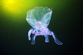 Moon jellyfish eversion