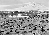 Penguin colony in Antarctica,1911