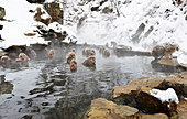 Japanese macaques in a hot spring