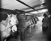 Terra Nova Antarctic ponies,1911