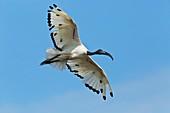 Sacred ibis in flight