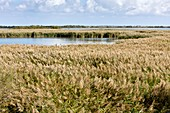 Reedbeds and lagoons,Camargue,France
