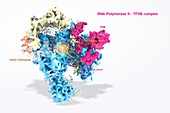 RNA polymerase II and TFIIB