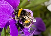 Buff-tailed bumblebee on a pansy