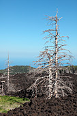 Dead trees killed by recent lava flow