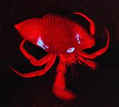 Bioluminescence of deep sea Sea Anemone