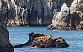 Steller sea lions on coastal rocks