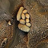 Leaf microbial flora,SEM
