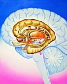 Brain's limbic system,artwork