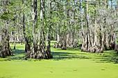Cypress Island Preserve,Louisiana,USA