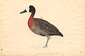 Whistling duck,illustration