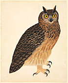 Eurasian eagle-owl,illustration