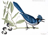 Blue jay,illustration