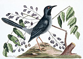 Red-legged thrush,illustration