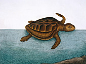 Loggerhead turtle,illustration