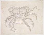 Land crab,illustration