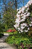 Rhododendron 'Loderi pink diamond'