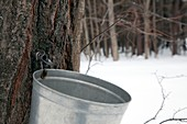 Sap collection from maple tree