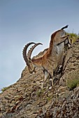 Male Wahlia Ibex mountain descent