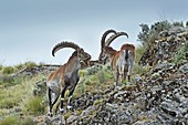 Two male Wahlia Ibex