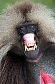 Threat display of a male Gelada baboon