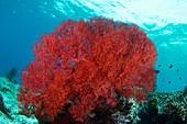 Bright red sea fan
