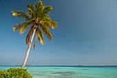 A single palm tree in the Maldives