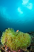 Anemonefish in clear calm water